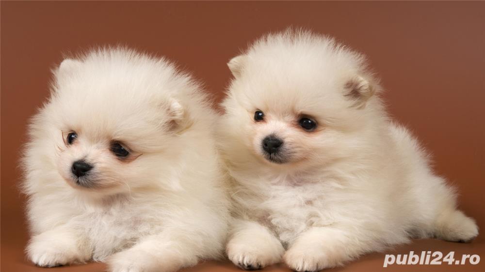 Pomeranian TOY rasa pura- Calitate~ Garantie- Livrare Oriunde