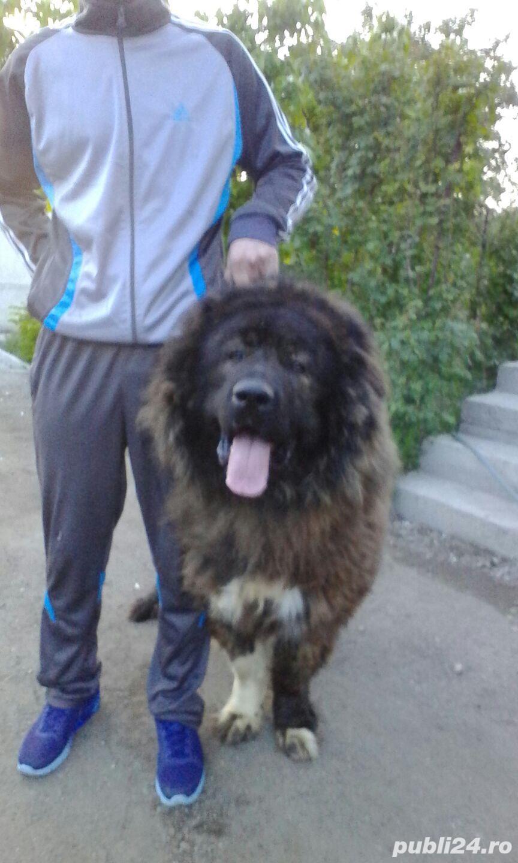 Mascul Ciobanesc Caucazian pentru paza