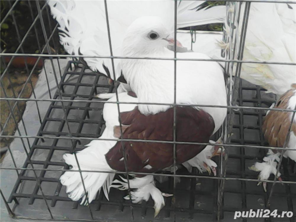 Vand porumbei voltati de diferite culori