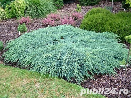 Ienupar tarator argintiu (Juniperus sq. Blue Carpet) 20 cm
