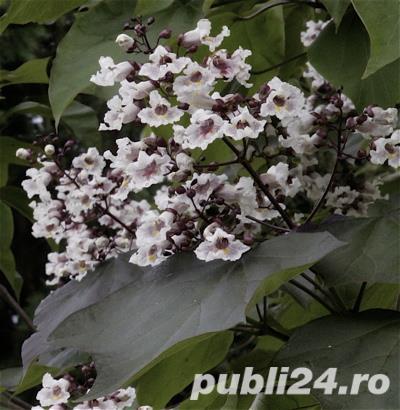 Catalpa purpurie (Catalpa erubescens Purpurea)