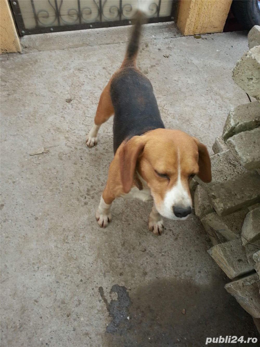 De vanzare pui de Beagle