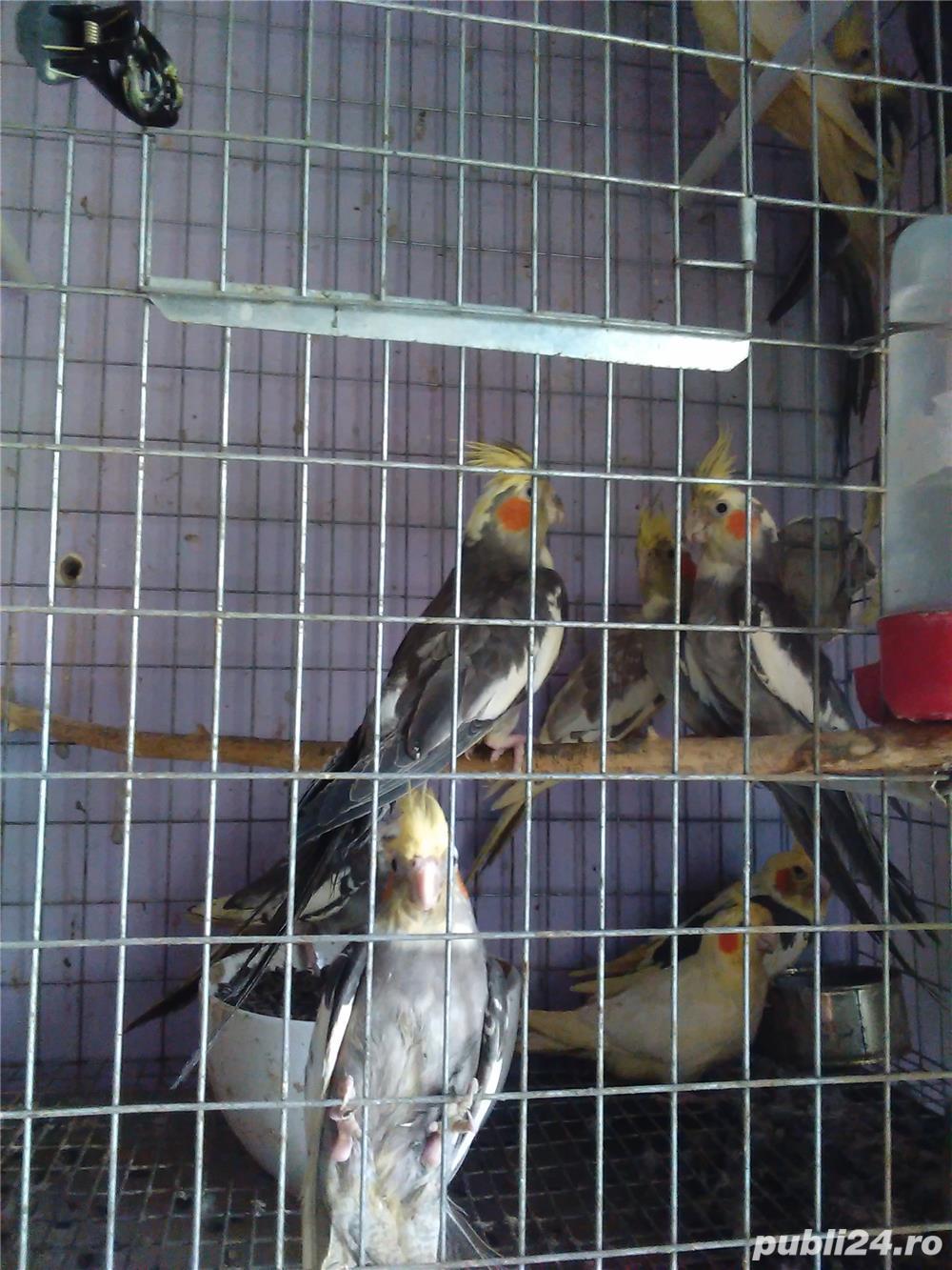 vand papagali nimfa