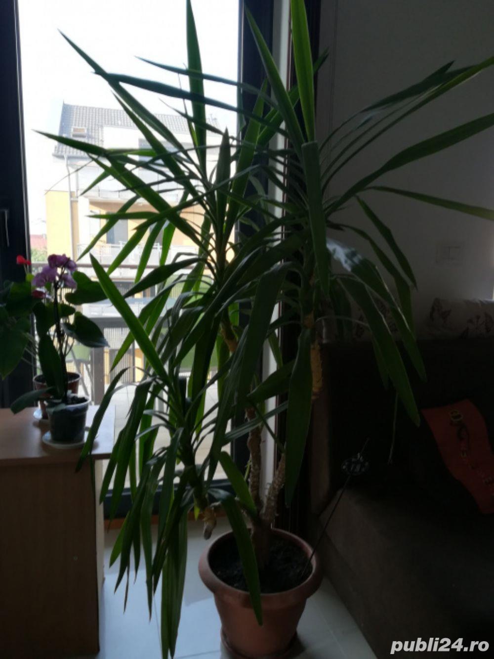 Vand planta ornamentala casa Yucca