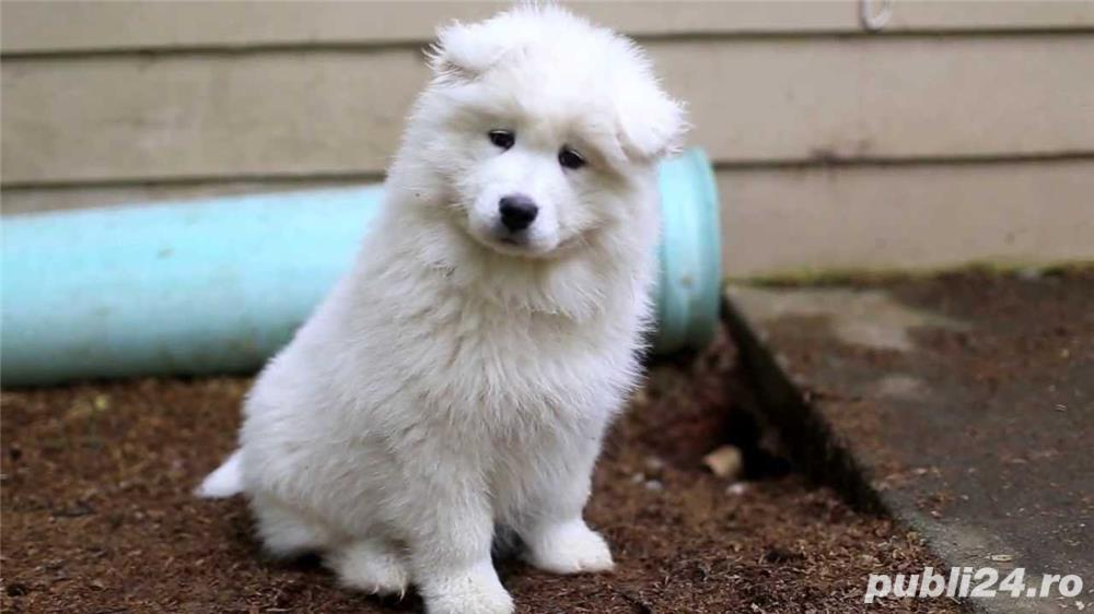 Disponibil pui Samoyed