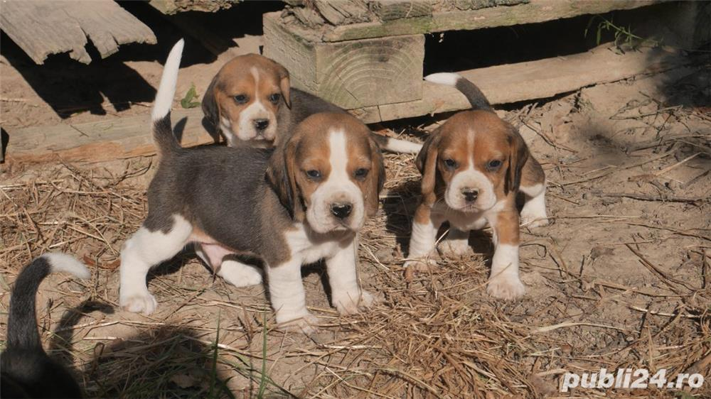 Beagle tricolori, par scurt, masculi si femele