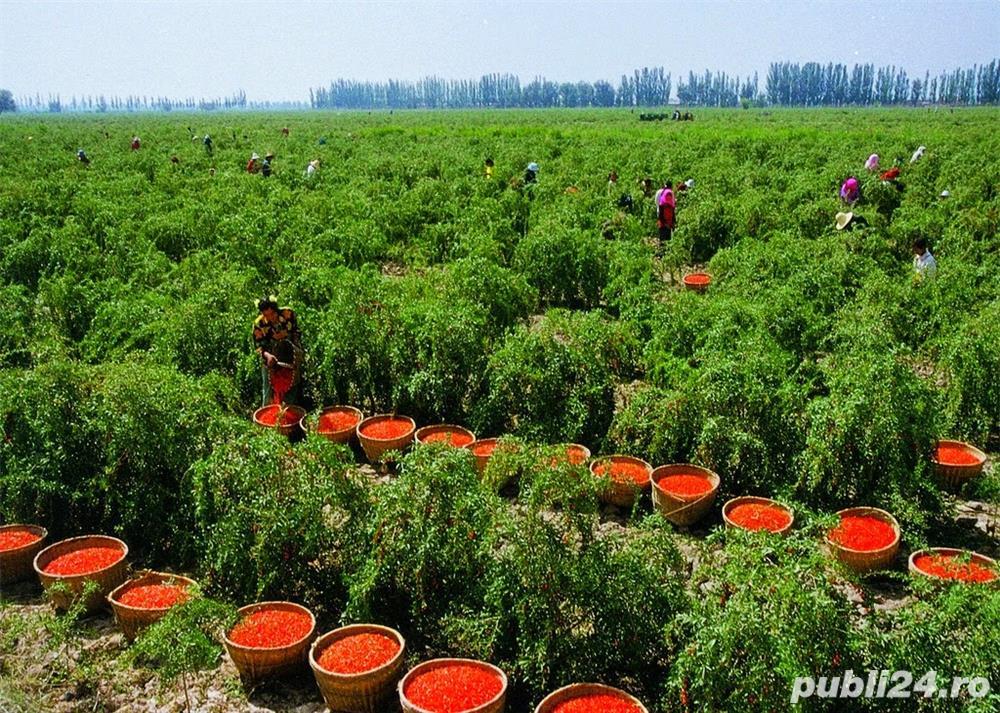 PRODUCATOR Vand Goji pe rod, arbusti, butasi, puieti, plante, seminte fructe proaspete sau confiate