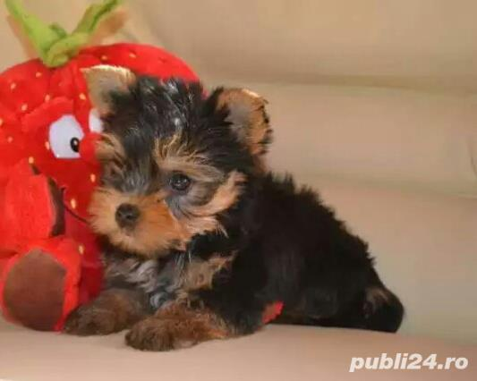 Vand pui rasa Yorkshire terrier toy