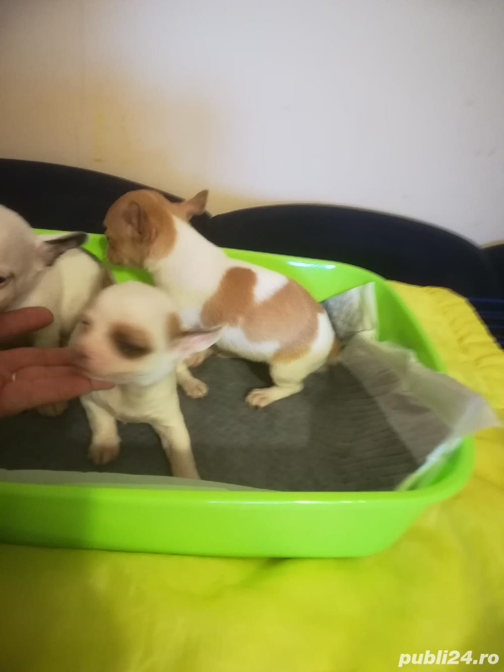 Cățeluși Chihuahua Talie Mica