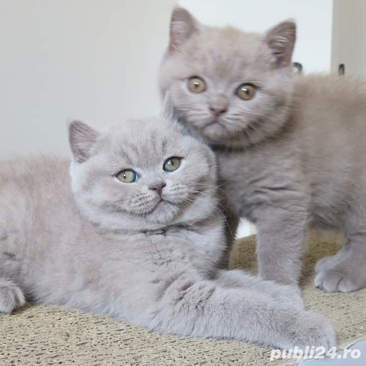 Pui british shorthair lila
