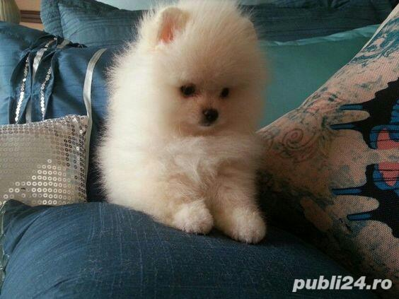 Pomeranian Boo. Talie Toy. Model Ursulet