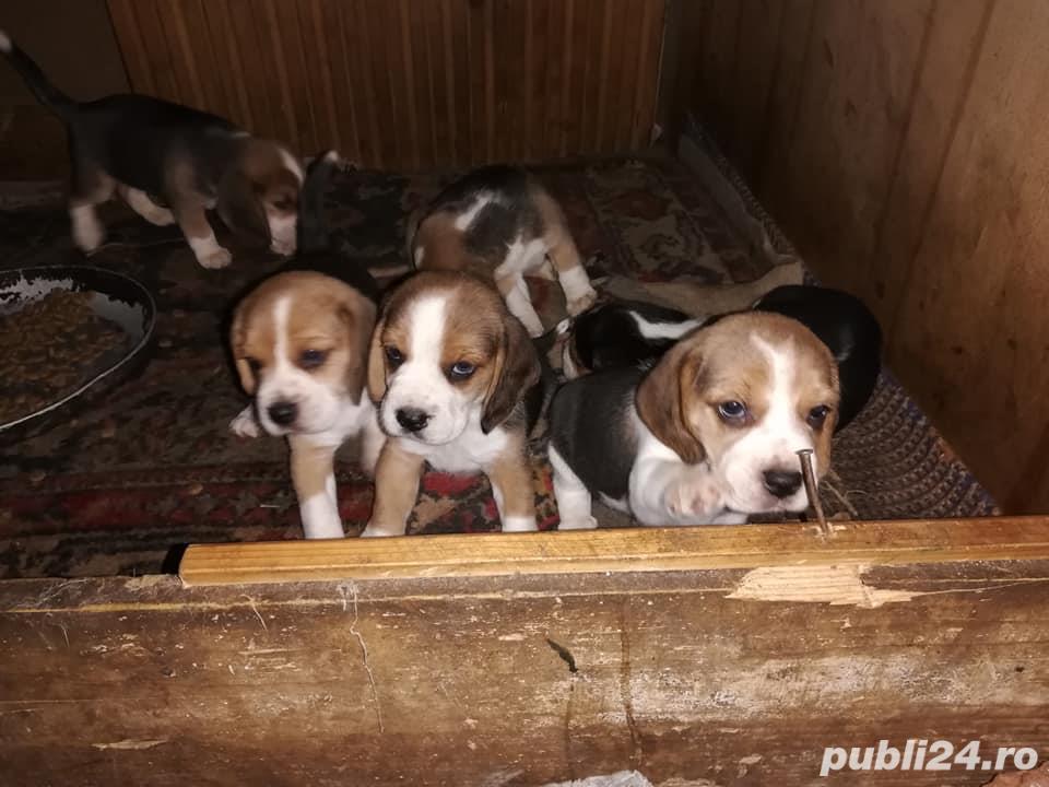 beagle catei