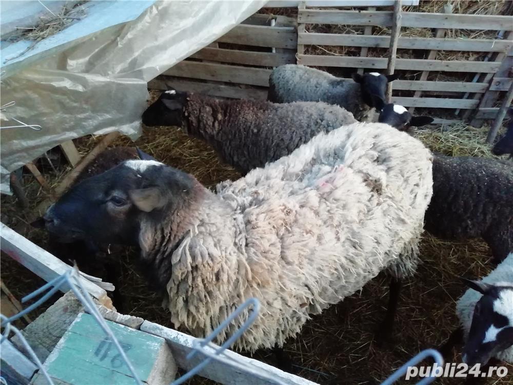 Vând oi romanov
