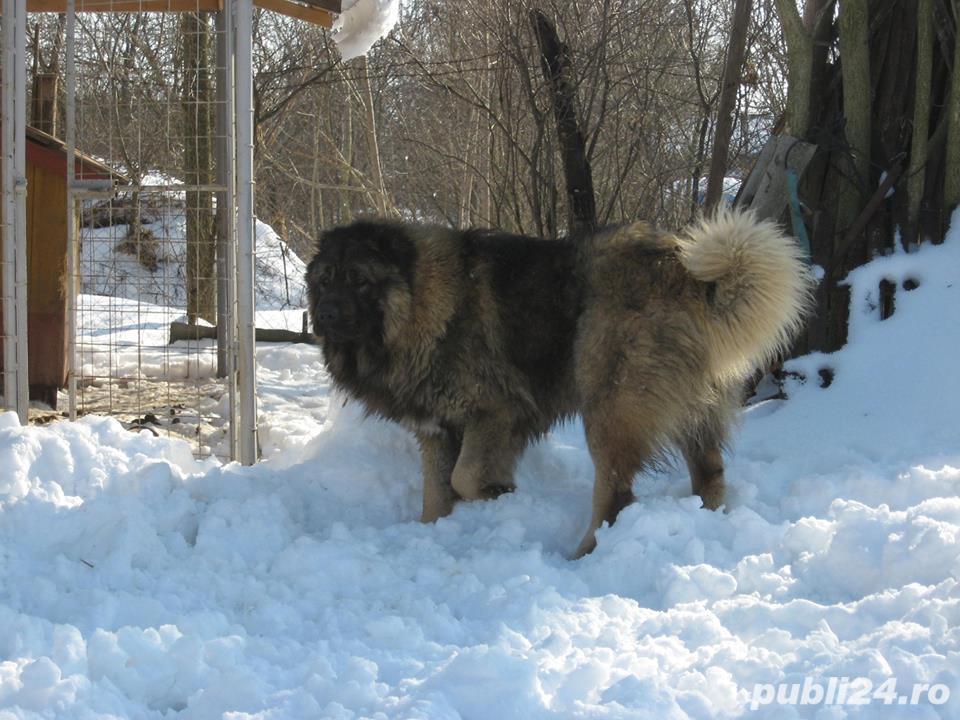 Ciobanesc Caucazian Mascul