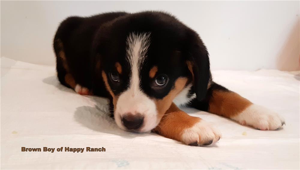 Entlebucher Sennenhund din canisa FCI Happy Ranch