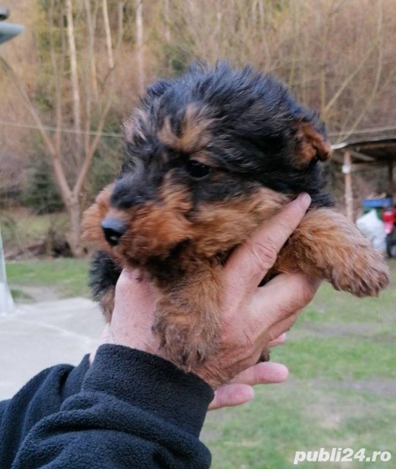 Pui welsh terrier