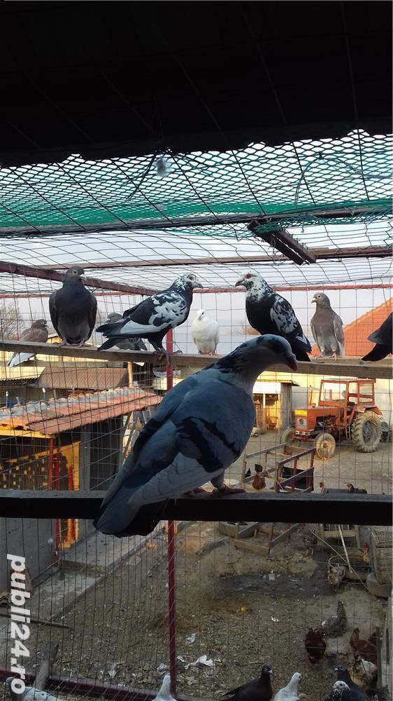 Porumbei  voiajori
