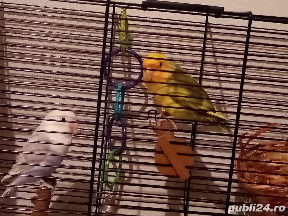 Papagali Agaponis