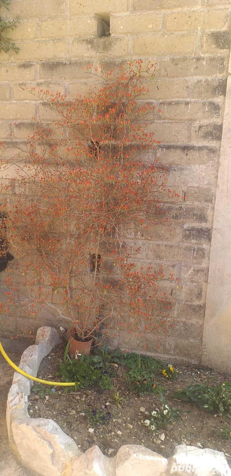 Vând plante de ardei iute tip PEPERONCINO DIAVOLICCHIO CALABRESE
