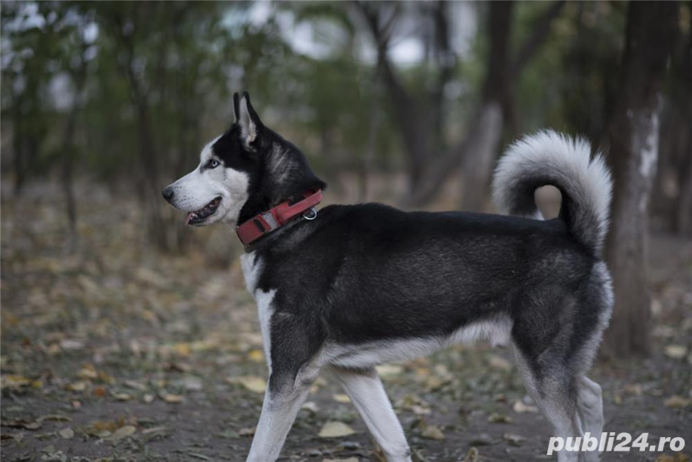 Husky Siberian  Pentru Monta ( imperechere )