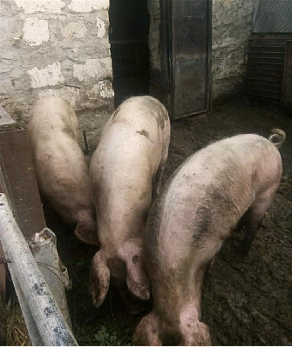 Vând porci de tăiat crescuți natural