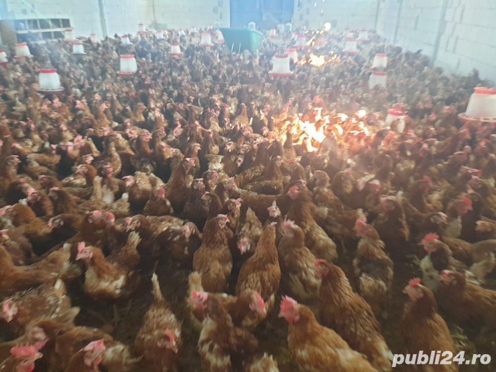 vând găini ouătoare
