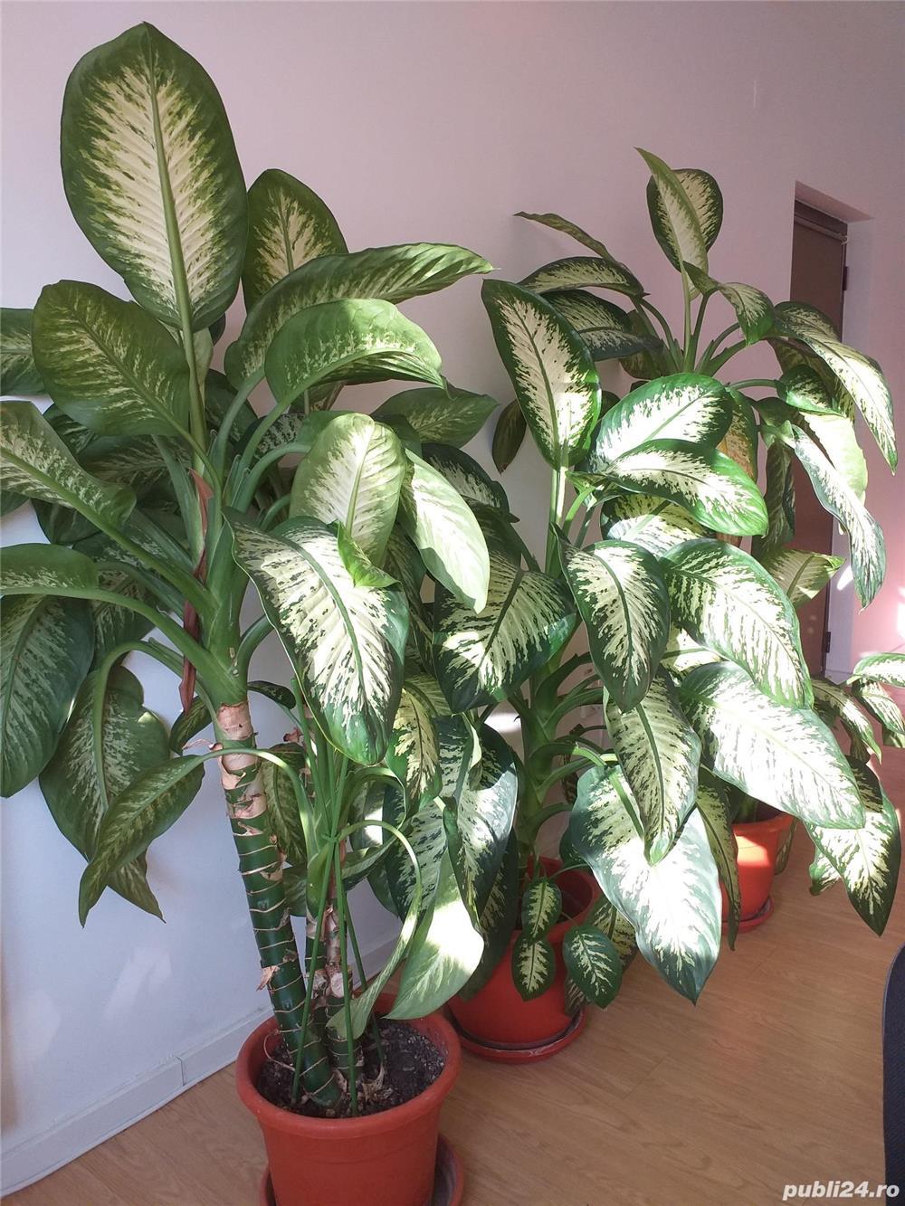 Plante de apartament DIEFFENBACHIA