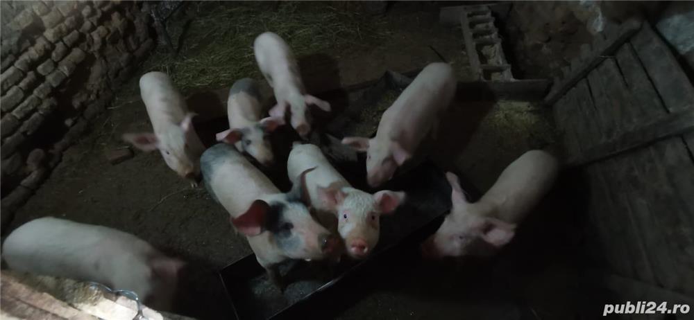 Vând porci, vârsta 4 luni
