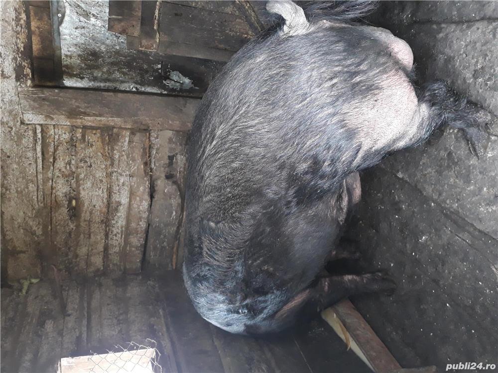 Porc  de vanzare