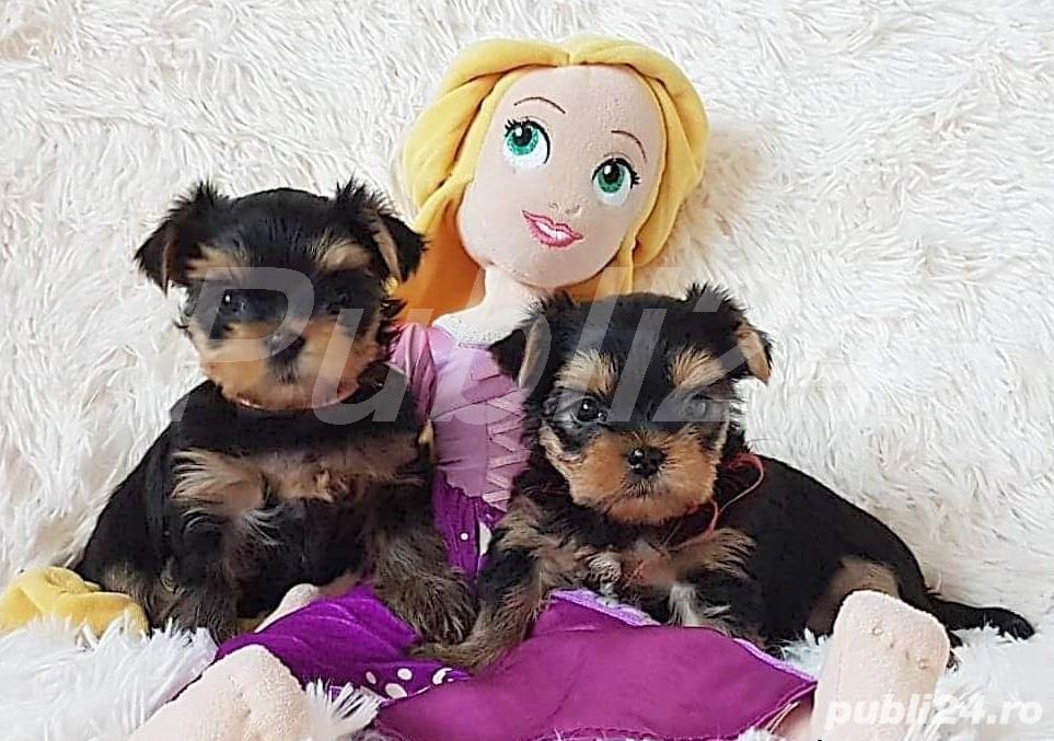 Yorkshire Terrier rasa pura, talie mini