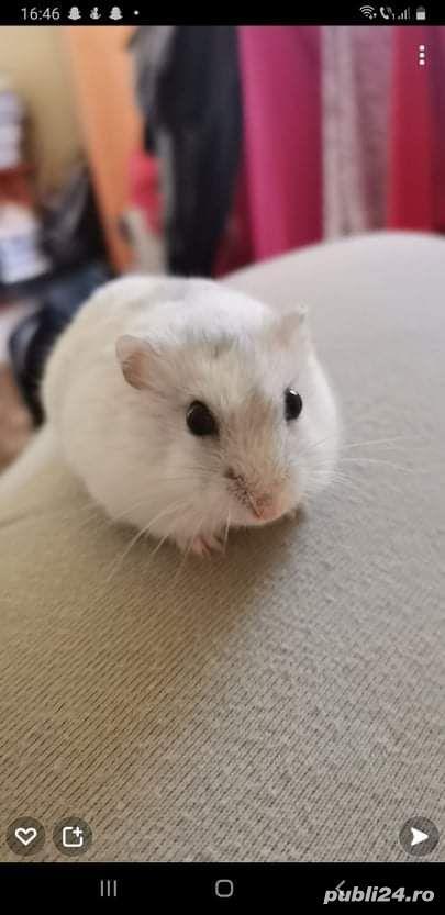 Donez hamsteri !!! 2 albi si 1 gri.