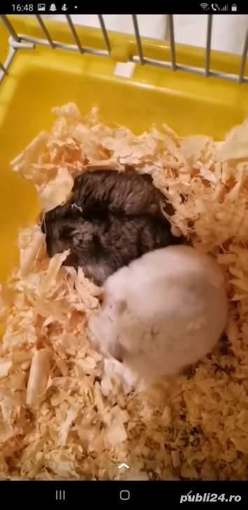 Donez hamsteri + cuști de vânzare