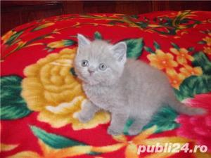 pisici british blue si lila - imagine 2