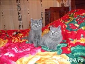 pisici british blue si lila - imagine 1