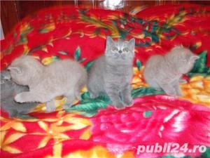 pisici british blue si lila - imagine 4