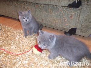 Pisici superbe pentru un cadou - imagine 1