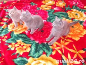 Pisici superbe pentru un cadou - imagine 6