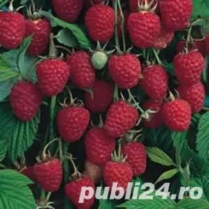 Arbusti Fructiferi si Stoloni de capsuni - imagine 2