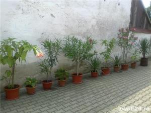 plante ornamentale ptr.amenajari exterioare (YUCCA, LEANDRII, BEGONII) - imagine 5