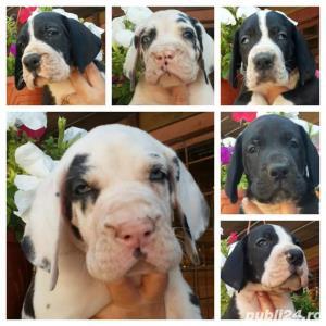 DOG GERMAN   cu pedigree - imagine 1