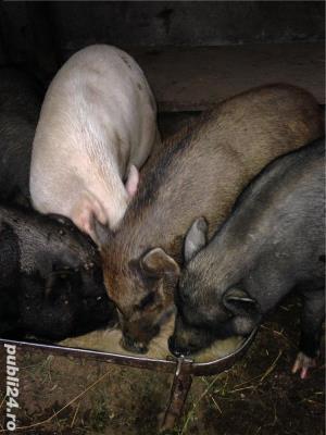Porci vietnamezi  Olt - imagine 1