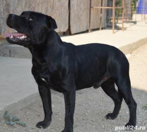 Staffordshire Bull Terrier - imagine 9