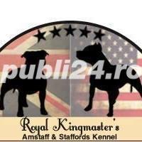 Staffordshire Bull Terrier - imagine 3