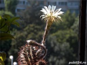 cactus ce infloreste in fiecare an in iunie-august - imagine 1