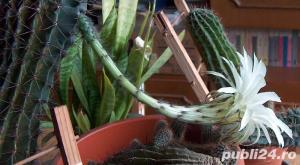 cactus ce infloreste in fiecare an in iunie-august - imagine 7