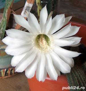 cactus ce infloreste in fiecare an in iunie-august - imagine 8