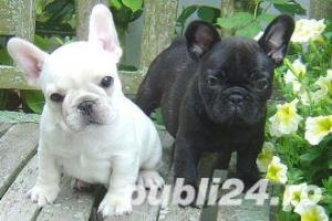Bulldog Francez - genetic pur - negri, albi si maro - imagine 2