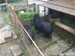 Porci vietnamezi  Olt - imagine 13