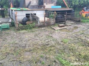 Porci vietnamezi  Olt - imagine 16