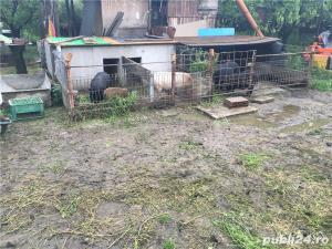 Porci vietnamezi  Olt - imagine 17